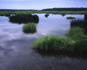 741px-Swamp_vegetation