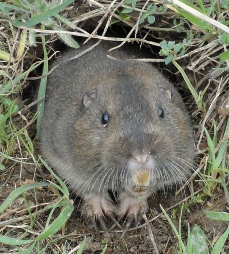542px-Pocket-Gopher_Ano-Nuevo-SP